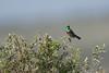 DSC_7343 (mylesm00re) Tags: m africa cinnyrischalybeus kleinrooibandsuikerbekkie nectariniidae sanparks seeberghide southafrica southerndoublecollaredsunbird westcoastnationalpark westerncape bird