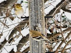 image (proulxrita) Tags: birds finch bird feeder snowy cold