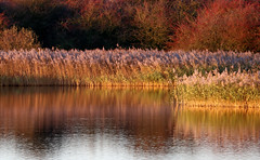 Reed Bed, Golden Hour (robin denton) Tags: reedbed reeds goldenhour reed florafauna flora plant wildlifetrust lincolnshirewildlifetrust farings sunset nature naturereserve waterscape