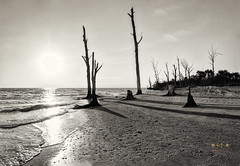 Sentinels on the Beach (SteveFrazierPhotography.com) Tags: stumppassbeach statepark sunset sand shoreline shore gulfofmexico gulfcoast charlottecounty florida fl coastline coast beach logs deadtrees stumps roots invasivespecies may 2016 lateafternoon evening shadows waves monochrome bw blackandwhite blackwhite sepia stevefrazierphotography canoneos60d water color beautiful scene scenery waterscape landscape brush shells seashells afternoon horizon clouds nature