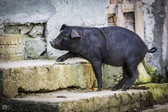 Homeward Bound (lycheng99) Tags: homewardbound pig pet farm countryside village steps old house oldhouse climb animal black yunnan yuanyang china travel