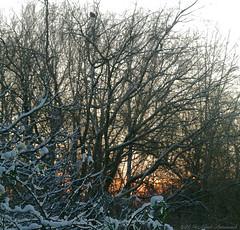 Winter (Natali Antonovich) Tags: winter tervuren snow frost nature tree christmas christmasholidays bird belgium belgie belgique