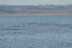 IMG_6004 (monika.carrie) Tags: monikacarrie wildlife scotland aberdeen dolphins dolphin cetacean mammal