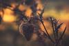 capture (Francois Le Rumeur) Tags: macro flower fog brume brouillard rosée goutte drop water eau fil chardon nikon d7100 hd 4k uhd uhq morning close automne autumn jaune orange yellow