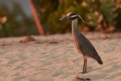 Yellow-Crowned Night Heron 1430 1