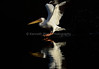 LakeChabot_123116_056 (kwongphotography) Tags: lakechabot castrovalley birds calif americanwhitepelican pelican wildlifephotography nature naturephotography wildlife birdsinflight unitedstates