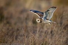 Short-eared Owl (Asio flammeus) (Richard Nicoll) Tags: nationaltrust shortearedowl naturereserve cambridgeshire asioflammeus wicken uk wickenfen burwell england unitedkingdom gb