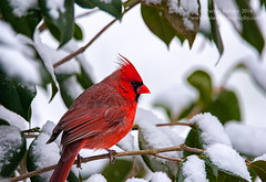 Winter (Dwood Photography) Tags: cardinal bird avian wildlife dwoodphotography dwoodphotographycom red green white snow 2016 backyard