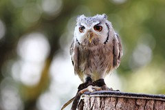 Petite chouette. / Small owl. (alainragache) Tags: chouette owl canon600d millandes