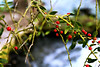 Nothing Beats a Berry (Chris C. Crowley) Tags: nothingbeatsaberry berries redberries plant botanical leaves twigs branches bokeh amespark ormondbeachfl