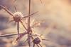 Golden hour flower (Chloé +++) Tags: golden doré dorée hour heure matin morning flower fleur winter hiver bokeh sun soleil light lumière brillant shining canon eos400d profondeur de champs field soft