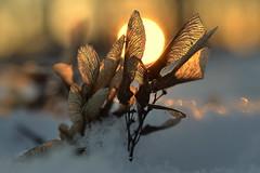 dancers (joy.jordan) Tags: maplekeys snow winter sunset light texture bokeh nature macro