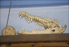 Crocoloco-IZE-315 (Zachi Evenor) Tags: zachievenor israel crocoloco crocolocofarm crocodilefarm crocodiliansfarm crocodile nilecrocodile crocodylusniloticus crocodylus niloticus crocodilia crocodilians haarava riftvalley צחיאבנור ישראל קרוקולוקו חוותקרוקולוקו חוותתנינים חוותתנינאים תניןהיאור תנין היאור תנינים קרוקודיל קרוקודילים תנינאים הערבה 2017 hatzeva 20170221 גולגולת skull humanskull crocodileskull homosapiens