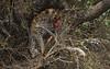 Table For One (philnewton928) Tags: africanleopard leopard pantheraparduspardus bigcat predator carnivore bigfive big5 mammal animal animalplanet wild wildlife nature natural satara kruger krugernationalpark africa southafrica outdoor outdoors safari nikon nikond7200 d7200