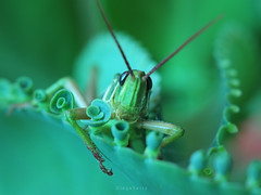 Escondida (Diego Serra) Tags: grasshopper langosta tucura bug planta garden jardín