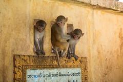 The Three Mystic Apes (davidthegray) Tags: monkey pagoda mtpopa myanmar birmania burma montepopa mountpopa popa paya stupa zedi ပုပ္ပားတောင် mandalayregion myanmarburma mm