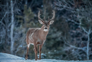 Frosty Morning Buck-Whitetail