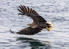 White-tailed Eagle (pixellesley) Tags: seaeagle whitetailed eagle bird raptor hunter flying fishing hunting mammal animal wildlife wild ocean sea water spray haliaeetusalbicilla lesleygooding