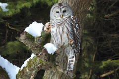 Barred Owl Before A Hunt (Sara Turner Photography) Tags: barredowl owl bird raptor huntingbird feathers animal nature wildlife outdoor winterscene