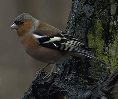 Male Chaffinch (heather.rigg) Tags: chaffinch smallbirds gardenbirds rufford ruffordabbey ruffordcountrypark