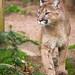walking cougar