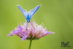 Mariposa azul (borjamuro) Tags: blue wild naturaleza muro nature azul butterfly nikon alicante montaña mariposa alcoy mariola montcabrer murodealcoy d7100
