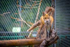 Edmonton Valley Zoo (IQRemix) Tags: nature animal animals canon zoo edmonton wildlife alberta valley 5d 70200mm redfox markiii yeg valleyzoo buenavistaroad edmontonzoo