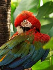 Red and Green Macaw (Annette Rumbelow) Tags: bali bird indonesia beak feathers preening wilson annette redandgreenmacaw rumbelow balibirdreptilepark
