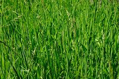 The Green Grass (EJ Images) Tags: uk england green slr grass suffolk nikon nef churchyard dslr aldeburgh eastanglia 2015 nikonslr d90 nikondslr aldeburghchurch nikond90 18105mmlens ejimages dsc0543c aldeburghchurchyard