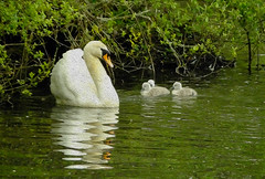 Mum & Three Babies!  Tehidy Park Nature Reserve Cornwall (Cornishcarolin. Thank you everyone xxxx) Tags: nature water birds cornwall wildlife swans filters cygnets oilpaint tehidycountrypark oilpaintfilter tehidynaturereserve