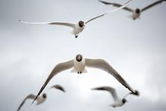 Seagulls (testdummy76) Tags: bird canon seagull balticsea ostsee vogel mve fttern zings