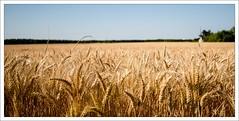avant la moisson (oudjat45) Tags: wheat harvest damncool moisson wheatfield champdebl theworldthroughmyeyes nikond600 theperfectphotographer yourbestoftoday flickrunitedaward solidarityagainstcancer nikon1635f4