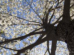 Looking Up Dogwood (virginia.arboretum) Tags: flower landscape florida scenic arboretum dogwood boyce cornus virginiastatetree