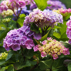 Colorful Hydrangea Blossoms (rona black photography) Tags: plant beautiful french botanical colorful hydrangea multicolor budding hortensia mophead bigleaf macrophylla