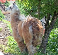 UN LAMA a WELSCHNOFEN (aldofurlanetto) Tags: lama welschnofen novalevante