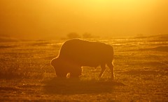 Bison Sunset (Joshua Pearson) Tags: sunset nature buffalo nikon wildlife north nd bison dakota d7100