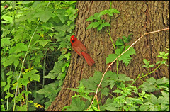 Cardinal, Central Park (newyorkimage) Tags: park new york columbus west flower birds rose circle subway high village sheep cardinal manhattan side greenwich great central lawn meadow center line upper lincoln zinnia avenue 5th irt fifth bmt ind