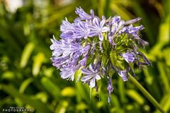 Flor en Ballonti (Patxi Villegas) Tags: espaa flower is bokeh flor 4l bizkaia paisvasco equipos 24105 numan 241054lis canoneos7dmarkii equiposnuman