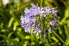 Flor en Ballonti (Patxi Villegas) Tags: españa flower is bokeh flor 4l bizkaia paisvasco equipos 24105 numan 241054lis canoneos7dmarkii equiposnuman