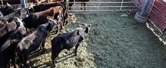 Livingston Rodeo (Tracy Hunter) Tags: rodeo livingston monatana