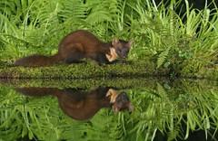Pine marten (Mike Mckenzie8) Tags: wild fern reflection water night mammal photography scotland nocturnal wildlife flash scottish predator