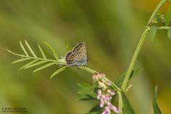ya river and Rupkalviai in late summer. (_alcedo_) Tags: summer nature butterflies insects lepidoptera lithuania biodiversity reverdinsblue plebejusargyrognomon ya floodedmeadows kronrtsblvinge azurdescoronilles kronwickenbluling lakrismjeltblvinge borisbelchev wwwalcedowildlifecom avrupalesmergz blistaviplavac csillogboglrka modraszeksrebroplamek modrsekpodobn modrikvresoviskov vainadzuzilentis ydraakismelsvys