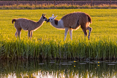Alpaca's Dinner In Eveninglight (Alfred Grupstra) Tags: food alpaca water grass nederland meadow nl noordholland eveniglight oostwoud