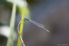 Common Blue Damselfy, Eastern Neck NWR, MD (whereamihere) Tags: places damselflies insectsandspiders easternnecknwr damselflycommonblue