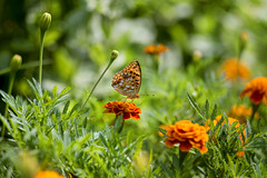 Lunch Time (explored 02/08/2015) (monorail_kz) Tags: flowers orange green butterfly garden foliage jupiter37a