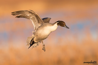 Northern Pintail descent