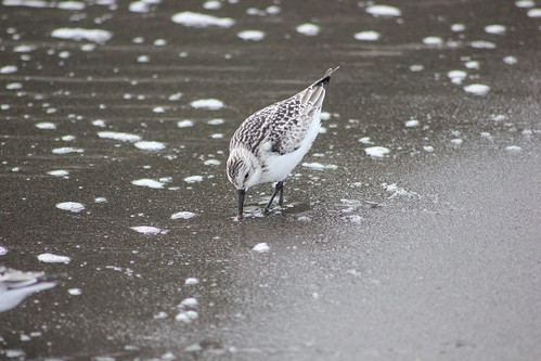 Sanderling on Sao Miguel
