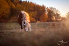 Lonesome horse (Tobegraphy) Tags: light sunset sun animal wildlife dof bokeh bokehlicious warm winter pet fujifilm fuji xt2