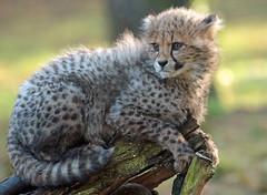 cheetah Burgerszoo JN6A8683 (j.a.kok) Tags: cheetah jachtluipaard acinonyxjubatus acinonyxjubates burgerszoo burgerzoo cat kat predator africa afrika mammal