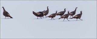 7424--  Wild Turkeys ((Meleagris gallopavo)